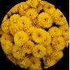 Саженец хризантемы ЯХО голд: фото и описание