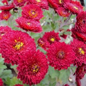 Саженец хризантемы Зарница (среднецветковая)