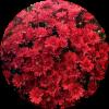 Саженец хризантемы Зелос: фото и описание