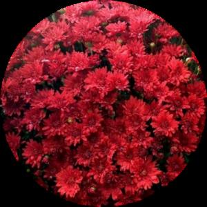Саженец хризантемы ЗЕЛОС