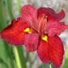 Саженец ириса louisiana Ann Chowning: фото и описание
