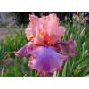 Саженец ириса Прелестный розовый: фото и описание