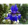 Саженец ириса сибирского Blue King: фото и описание