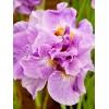 Саженец ириса сибирского Pink Parfait: фото и описание