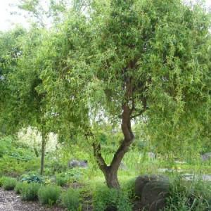 Саженец Ивы Матсуды или Salix matsudana
