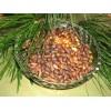 Саженец Кедра (15-40 см): фото и описание