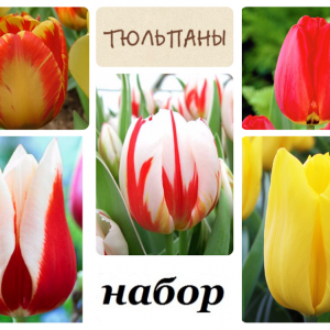 Луковиц тюльпанов (комплект №1 из 10 луковиц )