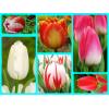 Луковиц тюльпанов (комплект №2 из 10 луковиц ): фото и описание