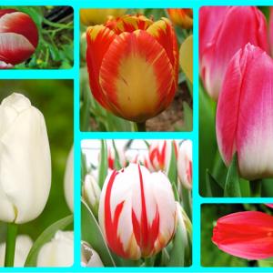 Луковиц тюльпанов (комплект №2 из 10 луковиц )