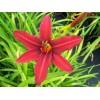 Саженец лилейника гибридный Crimson Pirate: фото и описание