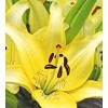 Луковица лилии Айвори Пикси: фото и описание