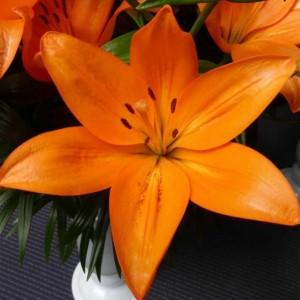 Луковица лилии CANTELLO (КАНТЕЛЛО)