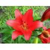Луковица лилии Colares (Коларес) ЛА-гибрид: фото и описание