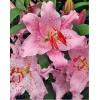 Луковица лилии Curly Sue (Кудряшка Сью) Восточный гибрид: фото и описание