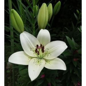 Луковица лилии Eyeliner (Айлинер) ЛА-гибрид