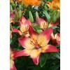 Луковица лилии Heartstrings (Хёртсстрингс) AZ: фото и описание