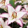 Луковица лилии Hotline (Горячая линия) Восточный гибрид: фото и описание