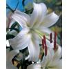 Луковица лилии Касабланка: фото и описание