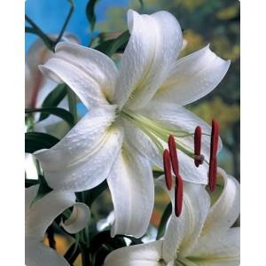 Луковица лилии Касабланка