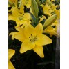 Луковица лилии Malesco (Малеско): фото и описание
