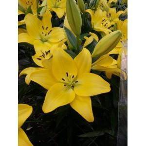 Луковица лилии Malesco (Малеско)