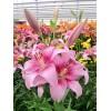 Луковица лилии PINK BRUSH (Розовая кисть) ЛА-гибрид: фото и описание