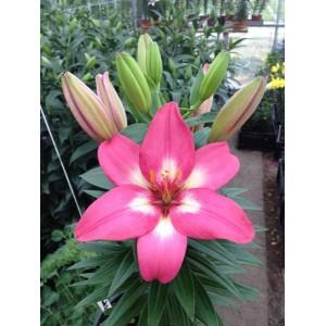 Луковица лилии Розалинн (Rozalynn) Азиатский гибрид
