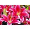Луковица лилии Старлайт экспресс: фото и описание