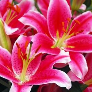 Луковица лилии Старлайт экспресс