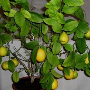 Лимон Павловский в горшке