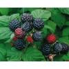 Саженец малины черной Блэк Джевел: фото и описание