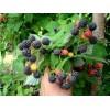 Саженец малины черной Кумберленд: фото и описание