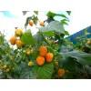 Саженец малины ГИГАНТ Оранж (ремонтантная): фото и описание