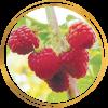 Саженец малины Колокольчик: фото и описание