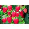 Саженец малины Рубиновый гигант: фото и описание