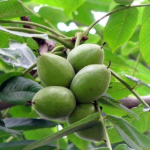 Саженцы маньчжурского ореха