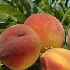 Саженец персика Фиделия