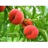 Саженец персика Инжирный: фото и описание
