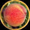 Саженец персика колоновидного Медовый: фото и описание
