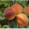 Саженец персика Онтарио: фото и описание