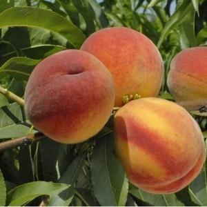 Саженец персика Онтарио
