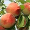 Саженец персика Т-4 Вергил: фото и описание