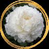 Саженец пиона Ann Cousins (Энн Казенс): фото и описание
