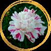 Саженец пиона Candy stripe (Кенди страйп): фото и описание