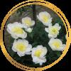 Саженец пиона Cheddar golg (Чеддар голд): фото и описание