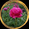 Саженец пиона Cherry royal (Черри роял): фото и описание