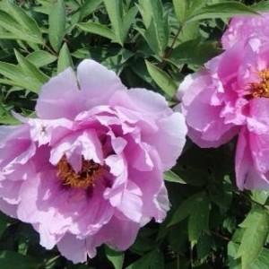 Саженец пиона древовидный As pretty as flower and jade