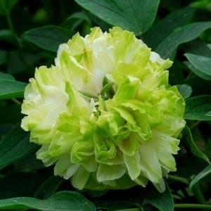 Саженец пиона древовидный Green Jade