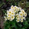 Саженец примулы Alba: фото и описание