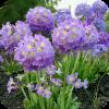 Саженец примулы Lilac: фото и описание